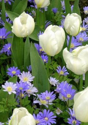 White Tulips With Purple Mobile Wallpaper