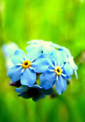 Nice Blue Flower Mobile Wallpaper