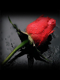 Red Rose Flower Mobile Wallpaper