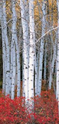 Aspen Forest Wasatch Mountaians Mobile Wallpaper