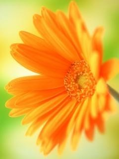 Orange Sunflower Mobile Wallpaper