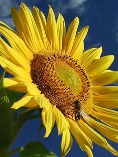 Yellow Sunflower Mobile Wallpaper