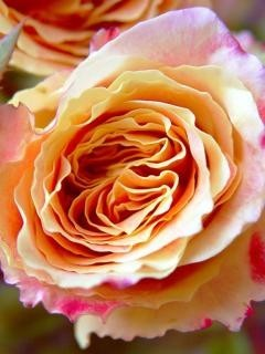 Colorful Roses2 Mobile Wallpaper