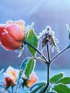Ice On Flower Mobile Wallpaper