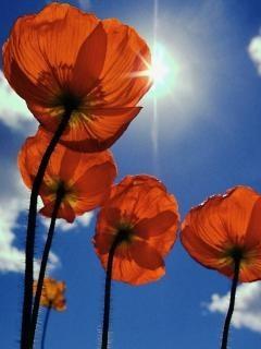 Big Orange Flowers Mobile Wallpaper