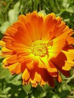 Sunflower Orange Mobile Wallpaper