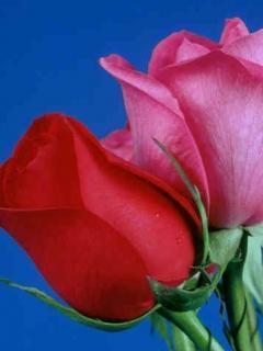 Roses Of Red  Mobile Wallpaper