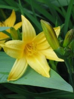 Flower Lily Mobile Wallpaper