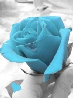 Beautiful Rose Mobile Wallpaper