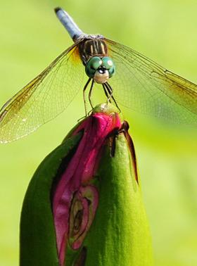 Dragonfly Mobile Wallpaper