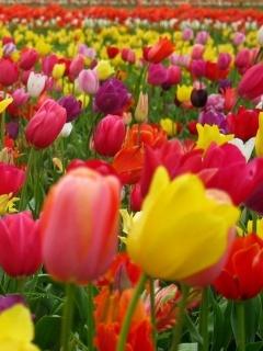 Loveley Tulips Mobile Wallpaper