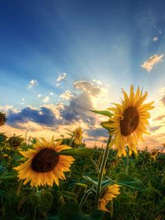 Natural Sunflower Mobile Wallpaper