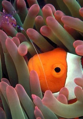 Clownfish Shrimp Mobile Wallpaper