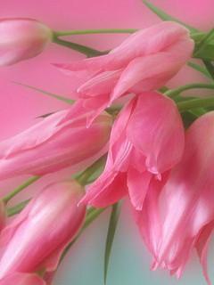 Pink Tulip Mobile Wallpaper