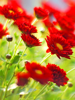 Red Flowers Mobile Wallpaper