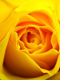 Yellow Rose Mobile Wallpaper