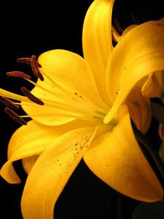 Yellow Lilies Mobile Wallpaper