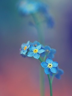 Blue Little Flowers Mobile Wallpaper