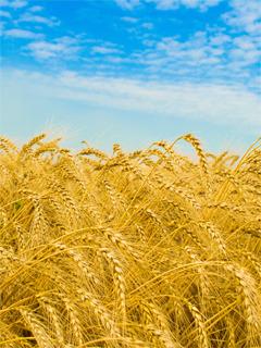 Wheat Mobile Wallpaper
