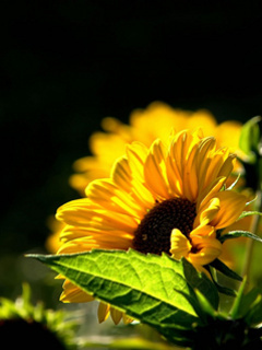 Yellow Sunflowers Mobile Wallpaper