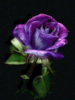 Purple Rose Mobile Wallpaper