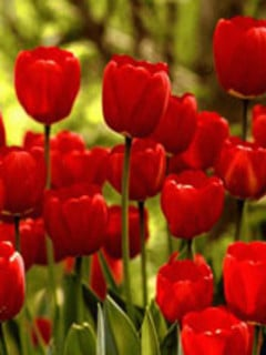 Red Tulips Mobile Wallpaper
