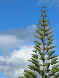 Nice Pine Tree Mobile Wallpaper