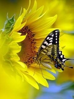Butterfly On Sunflower Mobile Wallpaper