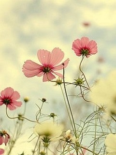 Pink Flower Mobile Wallpaper