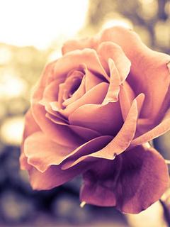 Nice Rose Mobile Wallpaper