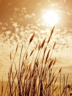 Sun And Grain Mobile Wallpaper
