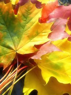 Maple Leaves Mobile Wallpaper