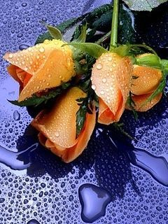 Wety Roses Mobile Wallpaper