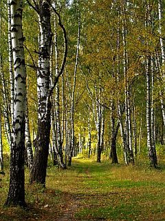 Birch Grove Mobile Wallpaper