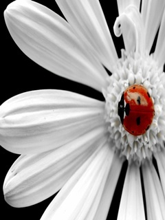 White Flower Mobile Wallpaper