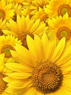 Yellow Sunflower Mobile Wallpaper