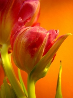 Red Tulip Mobile Wallpaper
