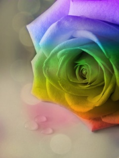 Rainbow Rose Mobile Wallpaper