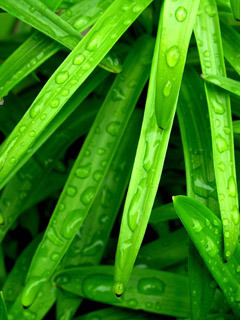 Green Drops Mobile Wallpaper
