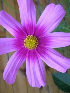 Purple Flower Mobile Wallpaper
