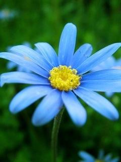 Blue Flower Mobile Wallpaper
