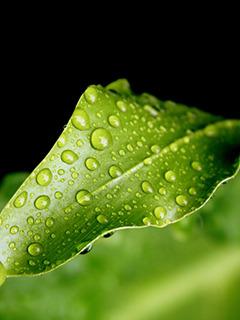 Green Dropy Leaf Mobile Wallpaper