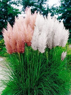 Pampas Grass Mobile Wallpaper