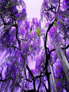 Purple Wist Mobile Wallpaper
