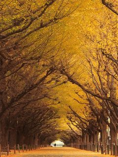 Ginkgo Trees Mobile Wallpaper