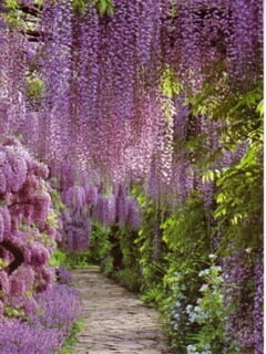 Pathway OfWisteria Mobile Wallpaper