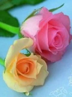 Color Roses Mobile Wallpaper