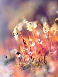 Dew Drops Mobile Wallpaper
