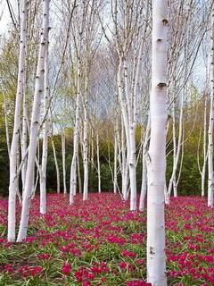 Trees Carpet Rose Mobile Wallpaper