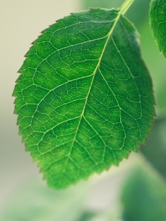 Green Leafs Mobile Wallpaper